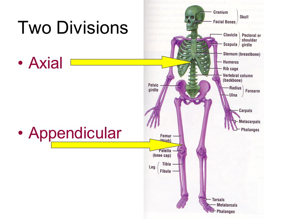 Two Divisions Axial Appendicular