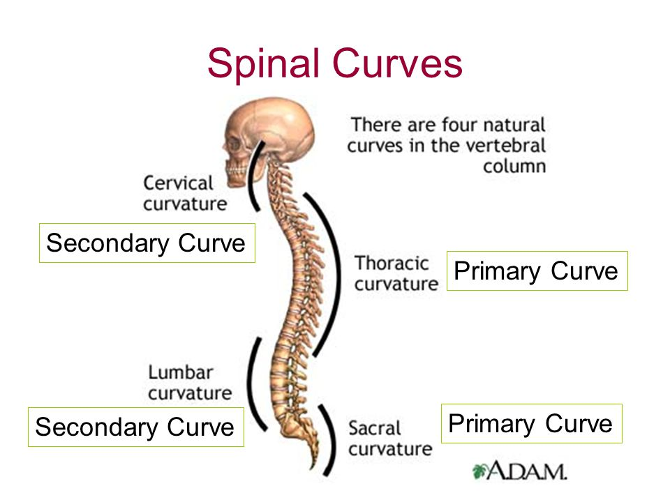 Spinal Curves Secondary Curve Primary Curve Primary Curve
