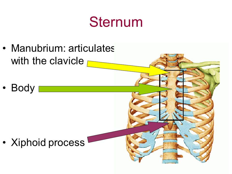 Sternum Manubrium: articulates with the clavicle Body Xiphoid process