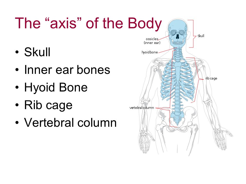The axis of the Body Skull Inner ear bones Hyoid Bone Rib cage