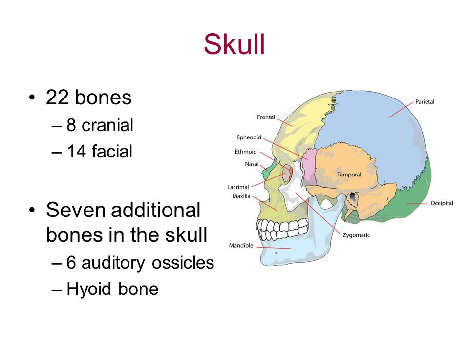 Skull 22 bones Seven additional bones in the skull 8 cranial 14 facial