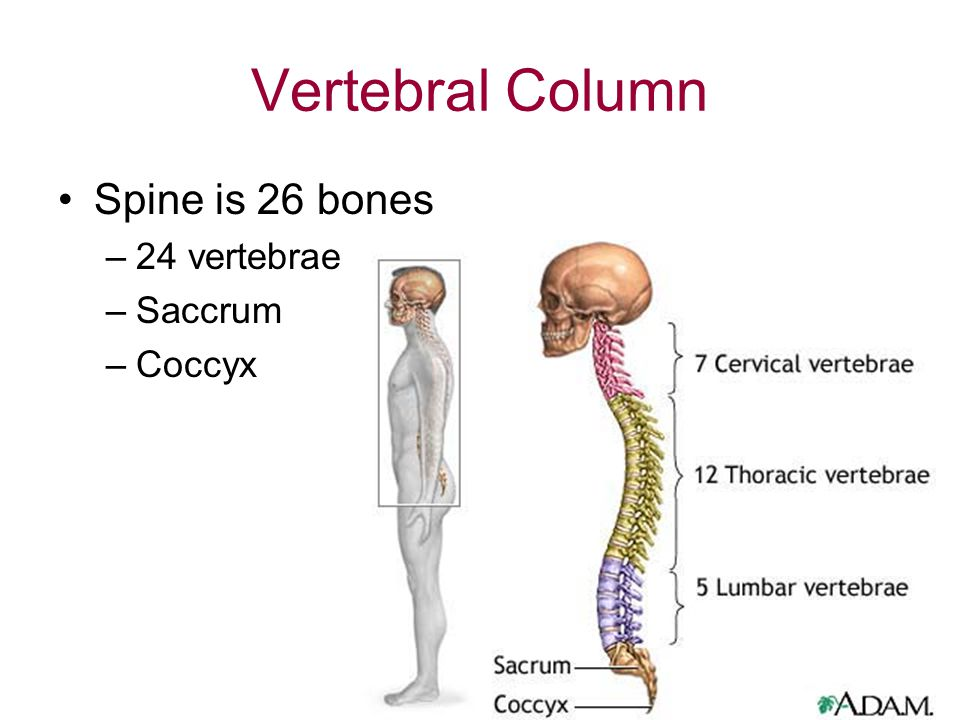 Vertebral Column Spine is 26 bones 24 vertebrae Saccrum Coccyx