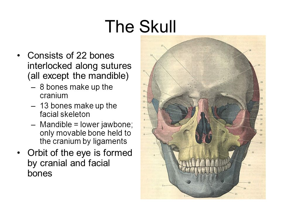 The Human Skeleton Ppt Video Online Download