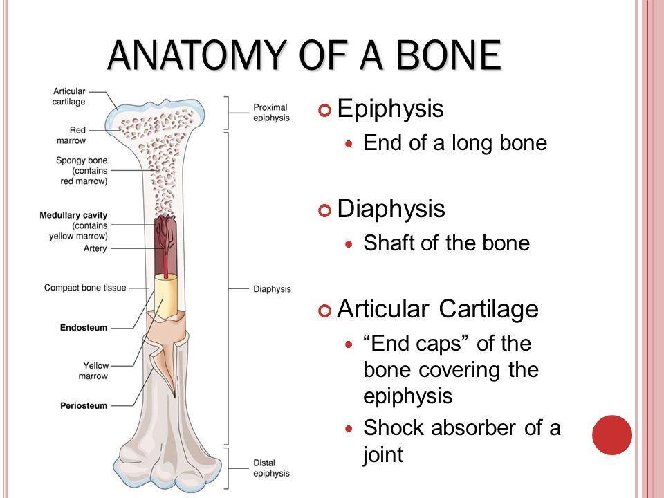 Skeleton System Ppt Video Online Download