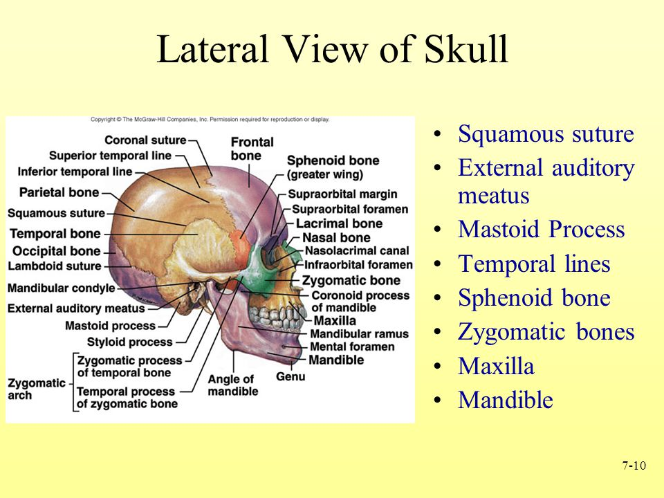 Contemporáneo Anatomy And Physiology Of The Skull Bosquejo ...