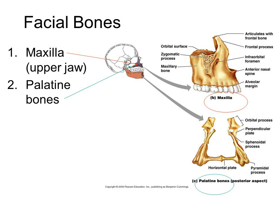 Palatine Bone Diagram - Auto Electrical Wiring Diagram •