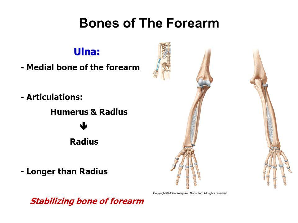 Appendicular Skeleton: Bones of The Upper Limb - ppt video online ...
