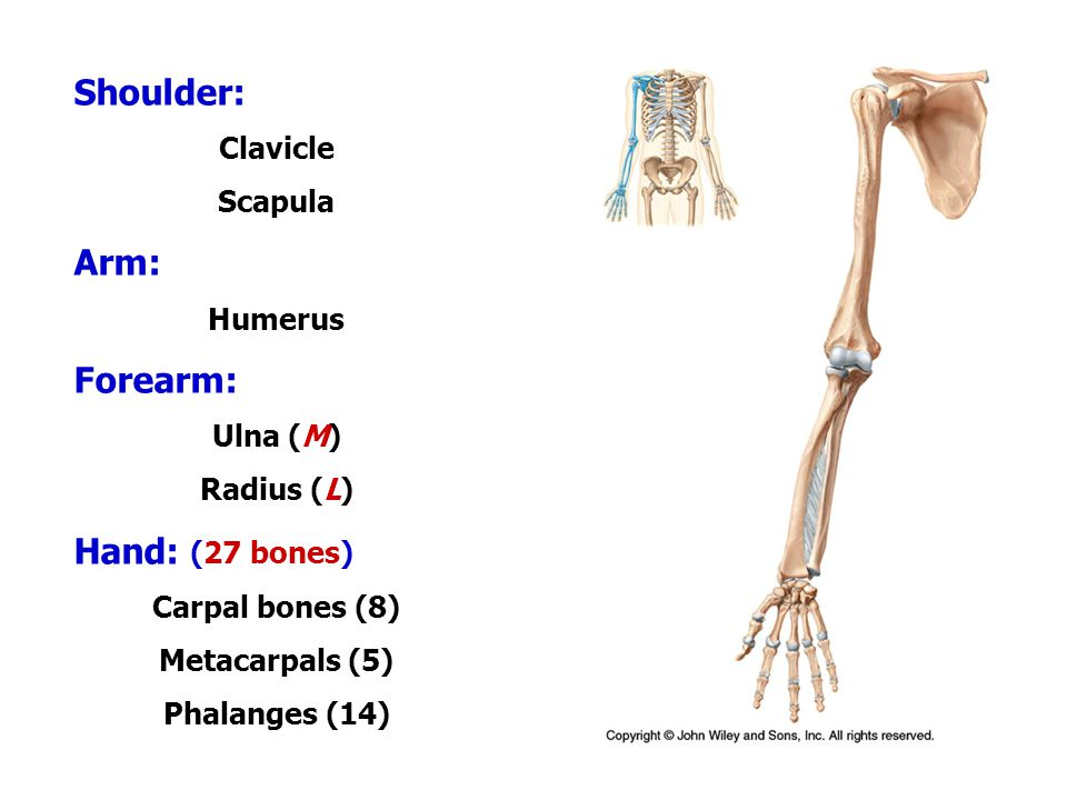 Fine What Are The Arm Bones Gift - Anatomy And Physiology Biology ...