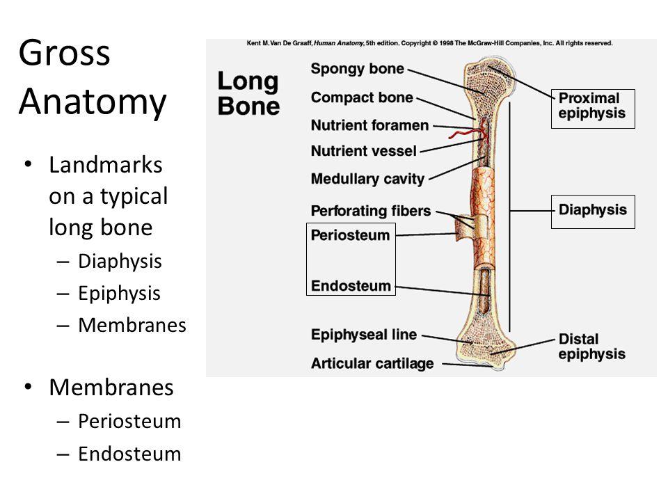 The Skeleton. - ppt download