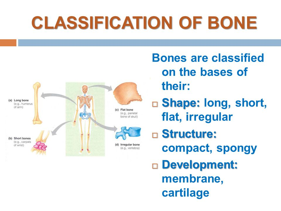 Introduction to anatomy skeletal system: bone - ppt video