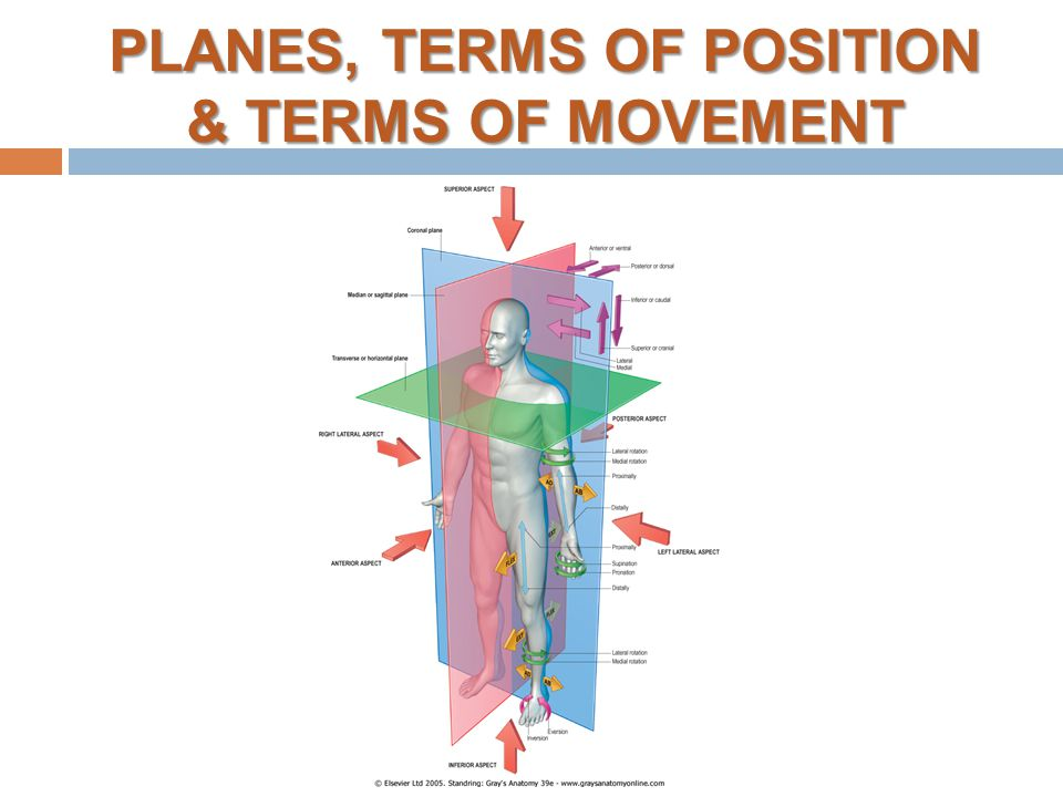 Anatomy Terms Of Movement Images Human Anatomy Diagram Organs