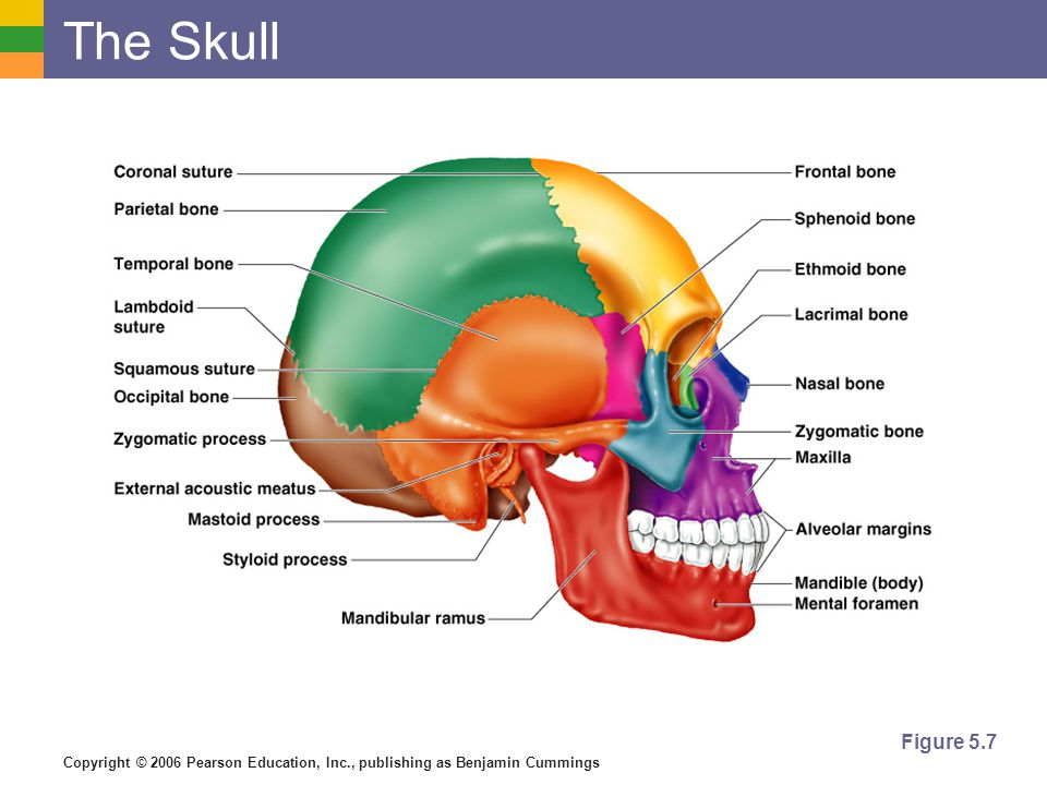 Human Skull Diagram Anatomy And Physiology 8th Edition - Library Of ...