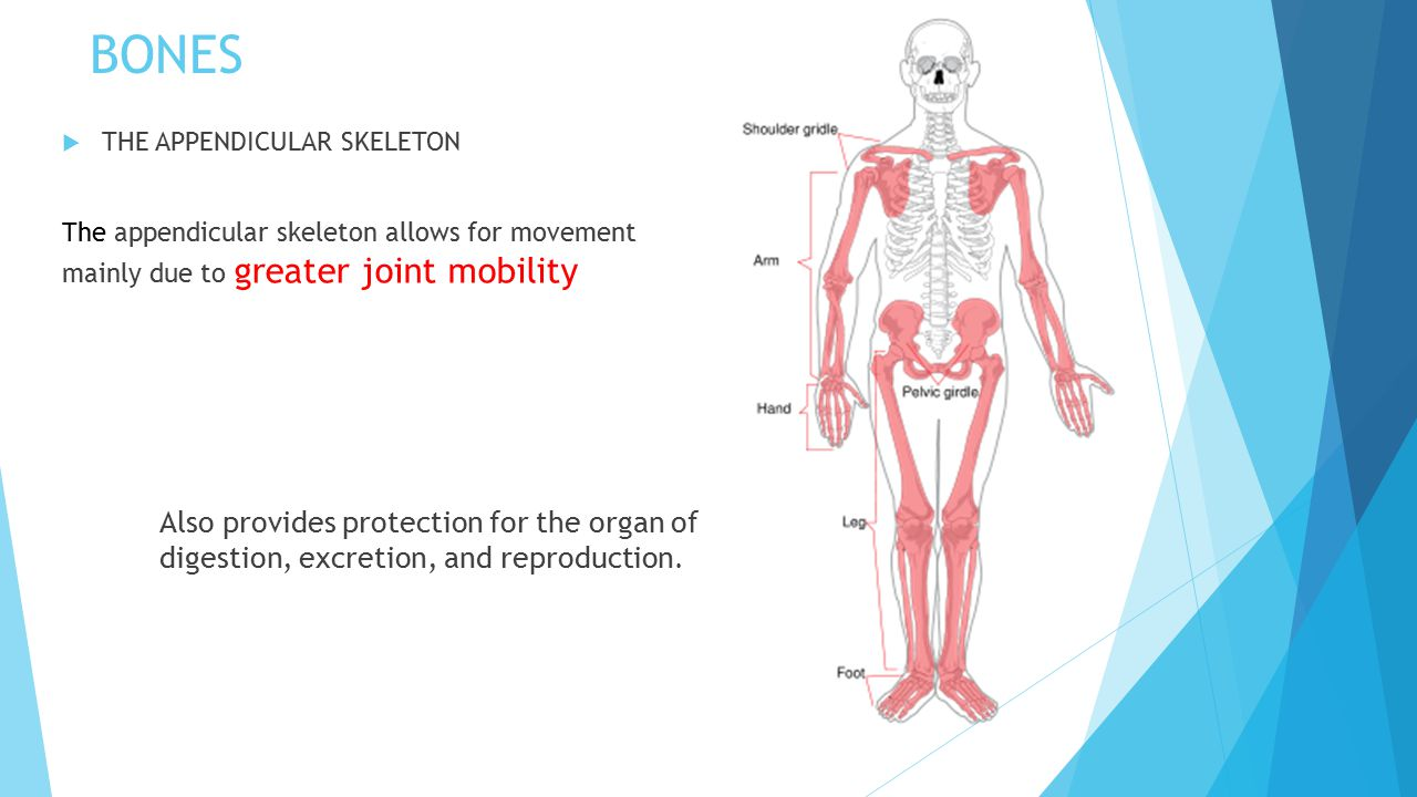 The Skeletal System PAF3O PERSONAL FITNESS. - ppt download