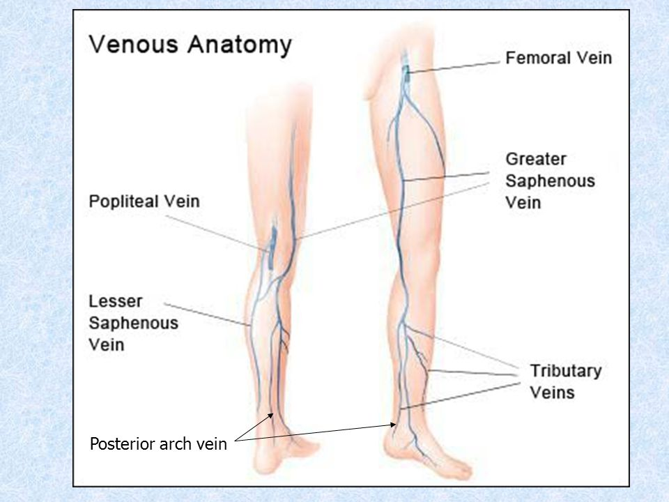 Greater Saphenous Vein Anatomy Gallery - human anatomy organs diagram