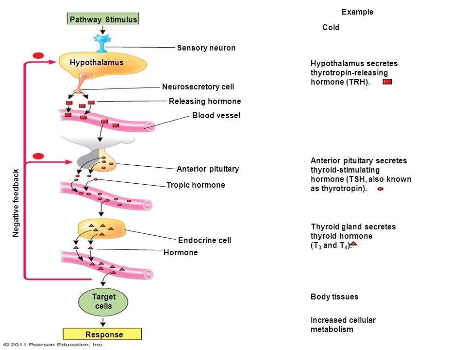 Figure Example Pathway Stimulus Cold Sensory Neuron Hypothalamus Ef Ad Hypothalamus Secretes Thyrotropin Releasing Hormone Trh