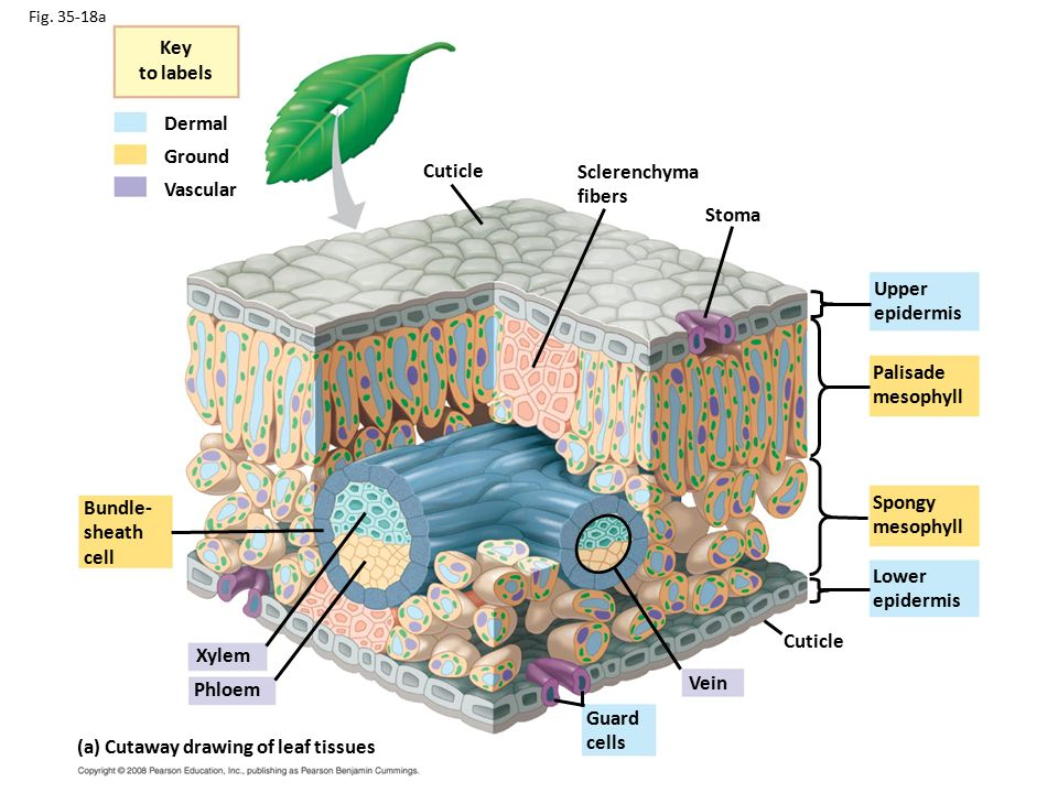 Leaf Tissue Anatomy Image collections - human body anatomy