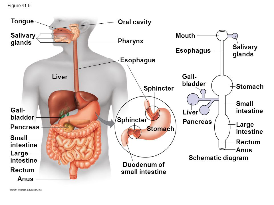 Intestine Liver And Gallbladder Diagram Search For Wiring Diagrams
