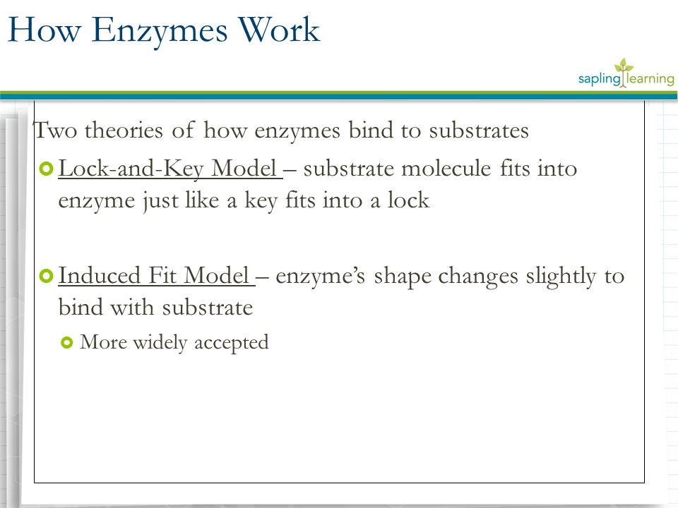 How Enzymes Work Two theories of how enzymes bind to substrates