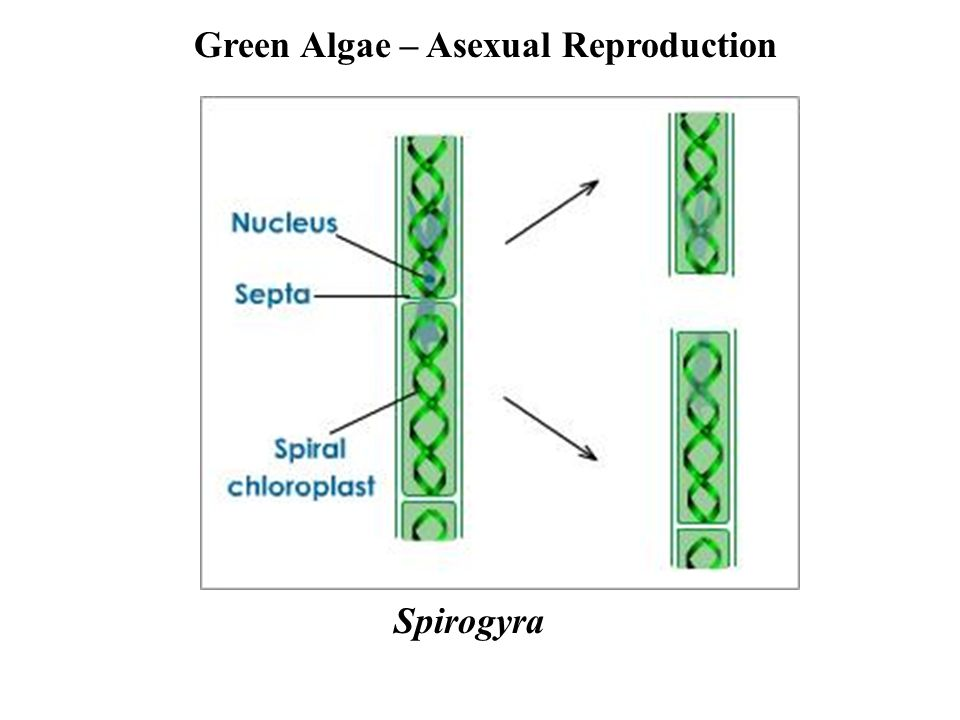 Scenedesmus asexual reproduction fission