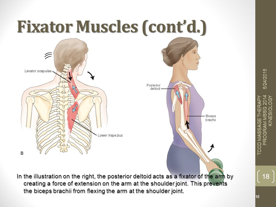 Roles Of Muscles From The Books Of Joseph E Muscolino Dc 416 Ppt