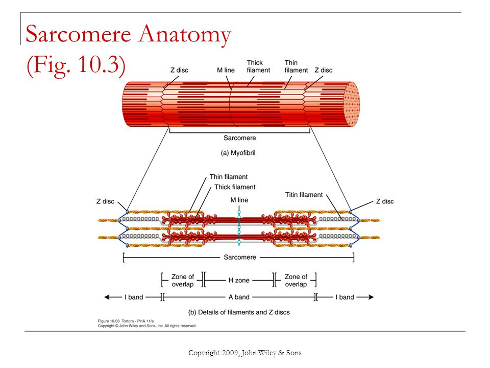 Chapter 10 Muscular Tissue - ppt download