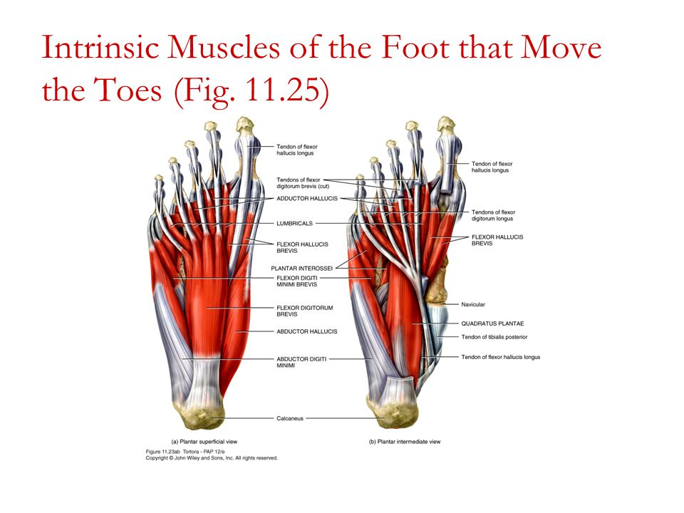Diagram Of Plantar Foot Muscles - Auto Wiring Diagram Today •