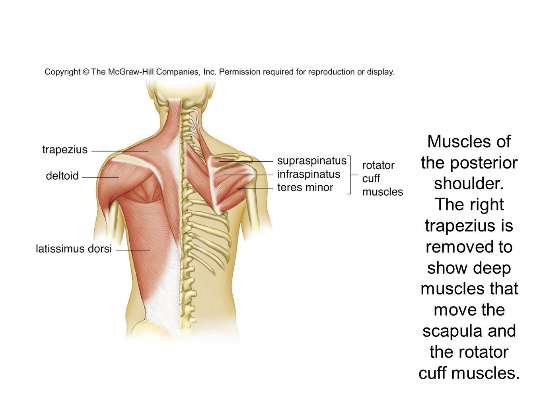 The Muscular System Sashyel Altman Sofia Esteller Alex Hasson Period ...