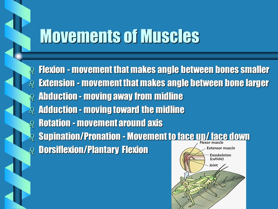 Movements of Muscles Flexion - movement that makes angle between bones smaller. Extension - movement that makes angle between bone larger.