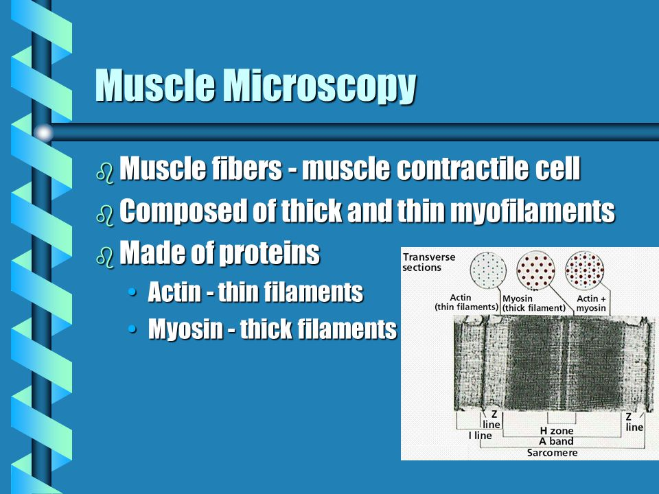 Muscle Microscopy Muscle fibers - muscle contractile cell