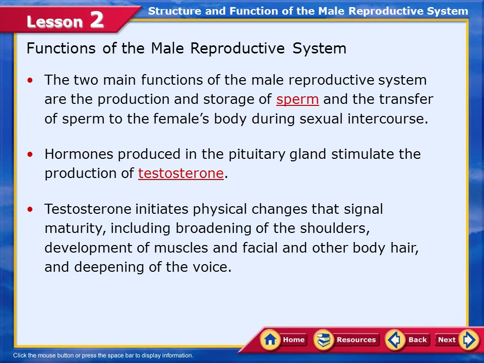 11811 Male Reproductive System Ppt Video Online Download