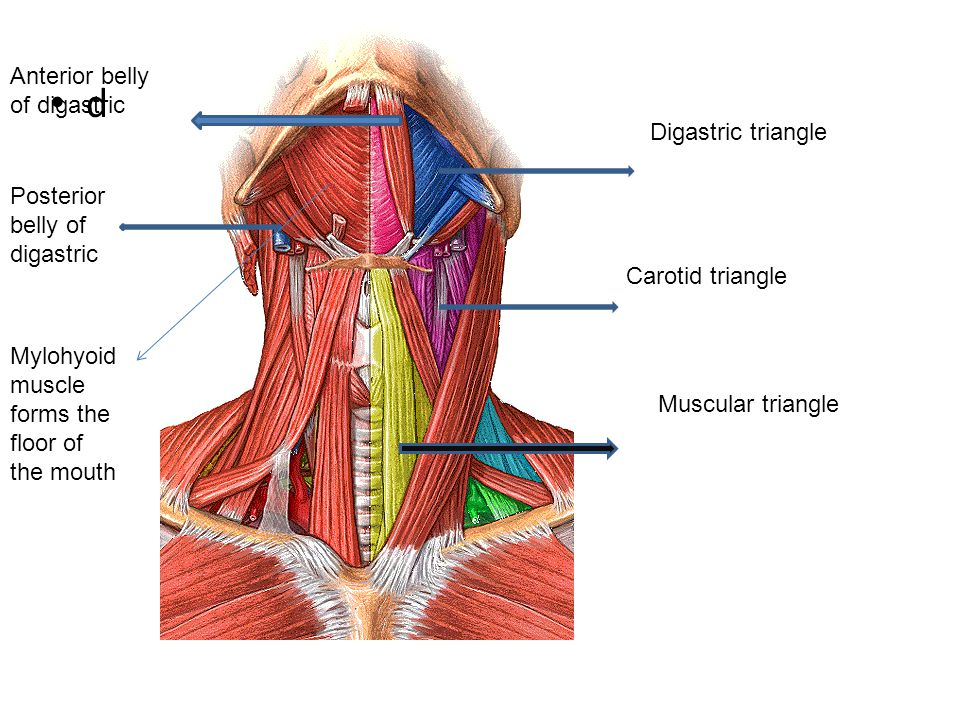 Anatomy of the neck By Dr. Rasha Sabry. - ppt video online download