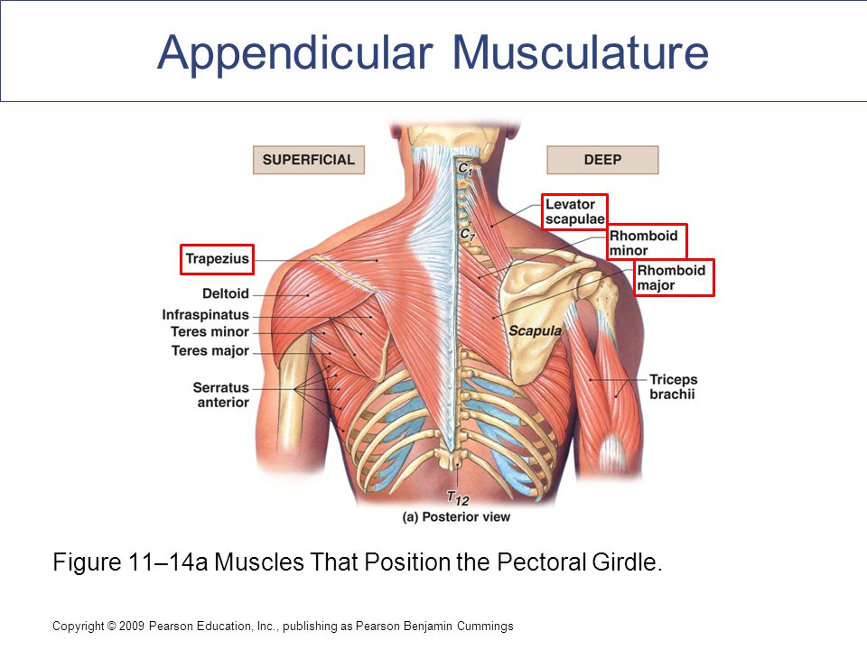 Shoulder Girdle Muscle Diagram Neck - Search For Wiring Diagrams •