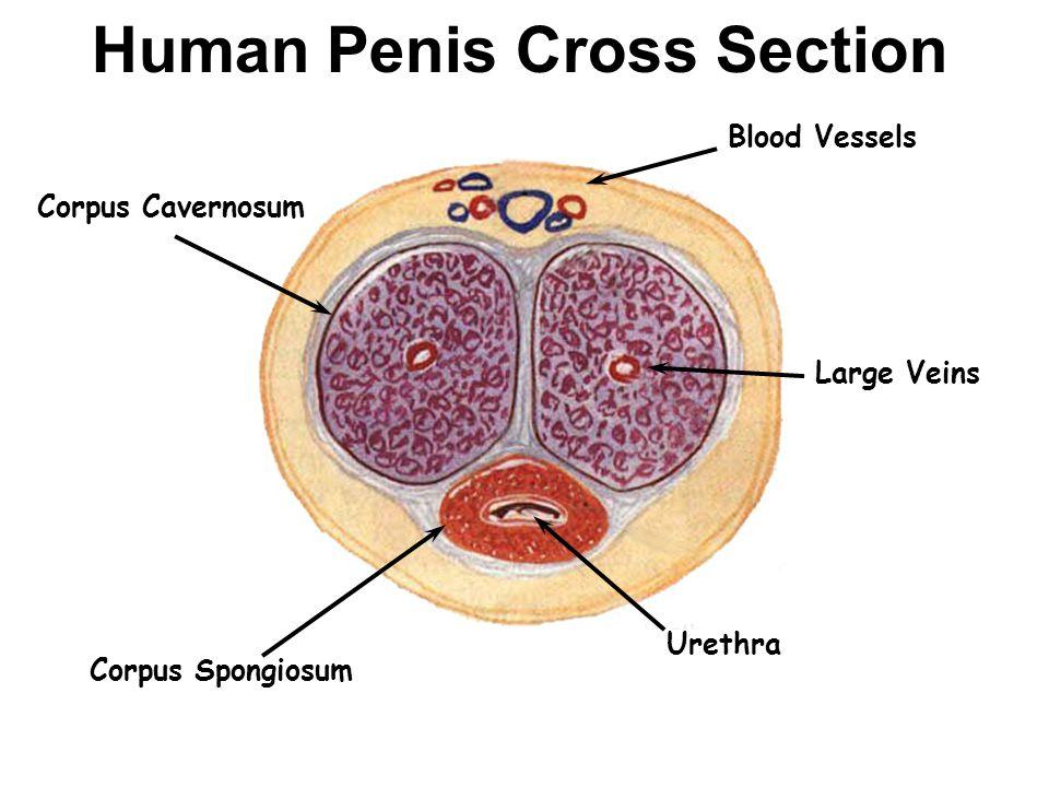 Veiny Penis