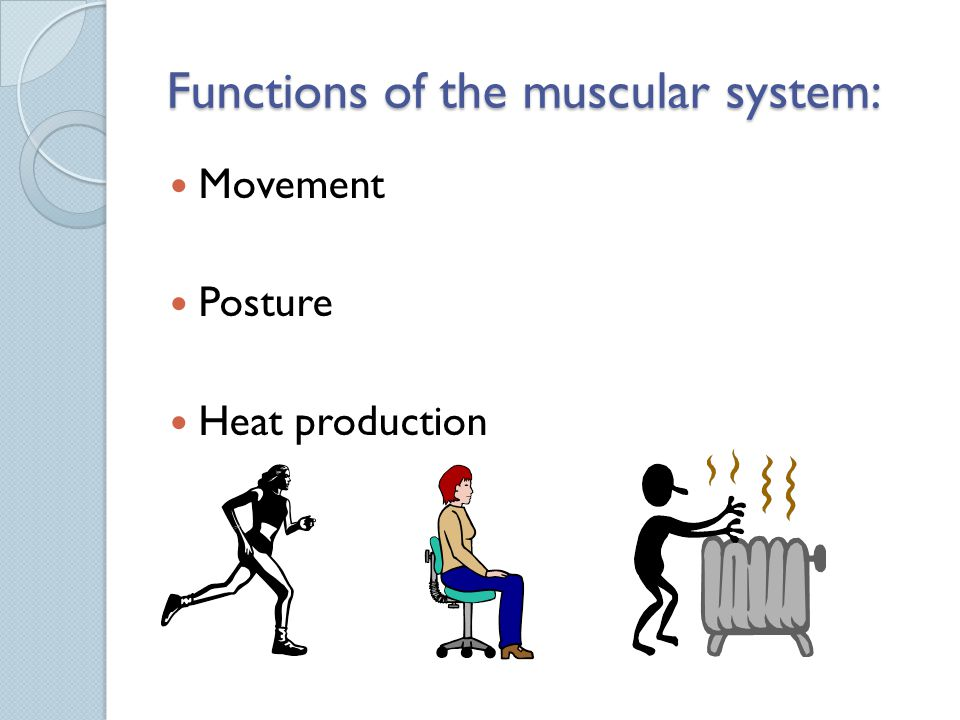 Functions of the muscular system: