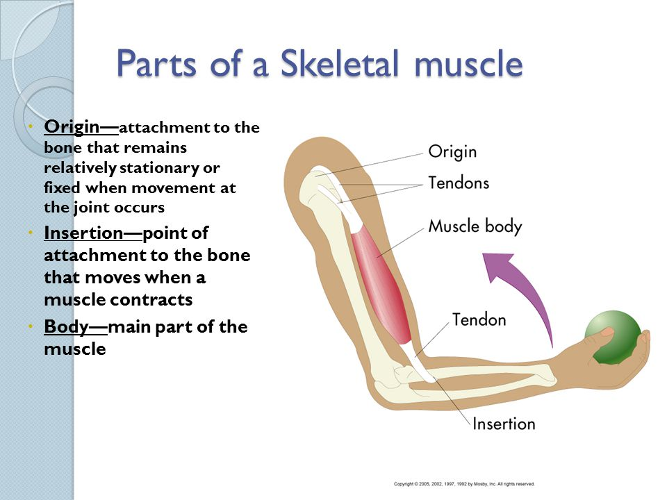 Seminar 6 The Muscular System - ppt video online download