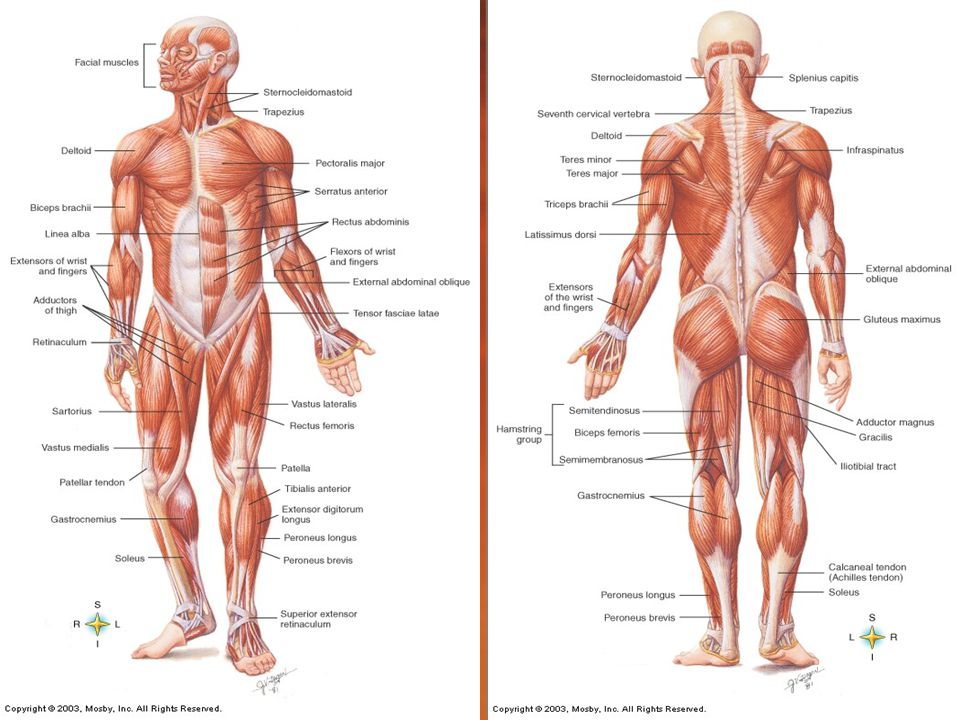Muscular System Study Guide Cengage - User Guide Manual That Easy-to ...