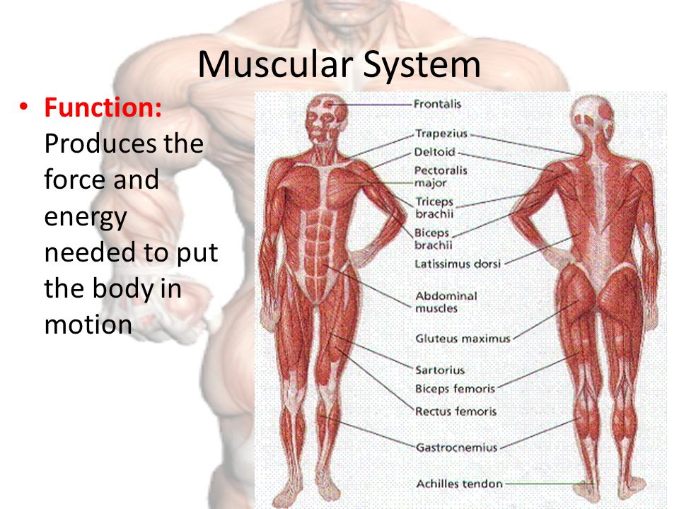 Muscular System We Will Learn About The Muscular System By Taking