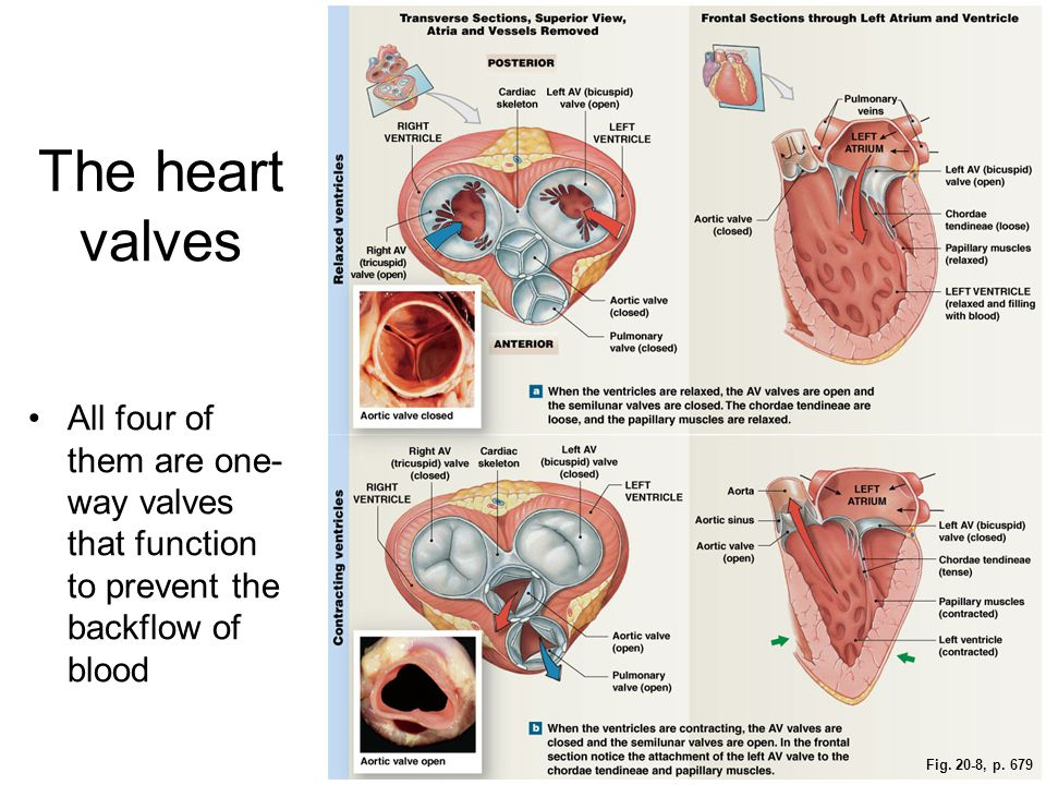 Ch. 20 – The Heart The heart is the muscular pump of the ...