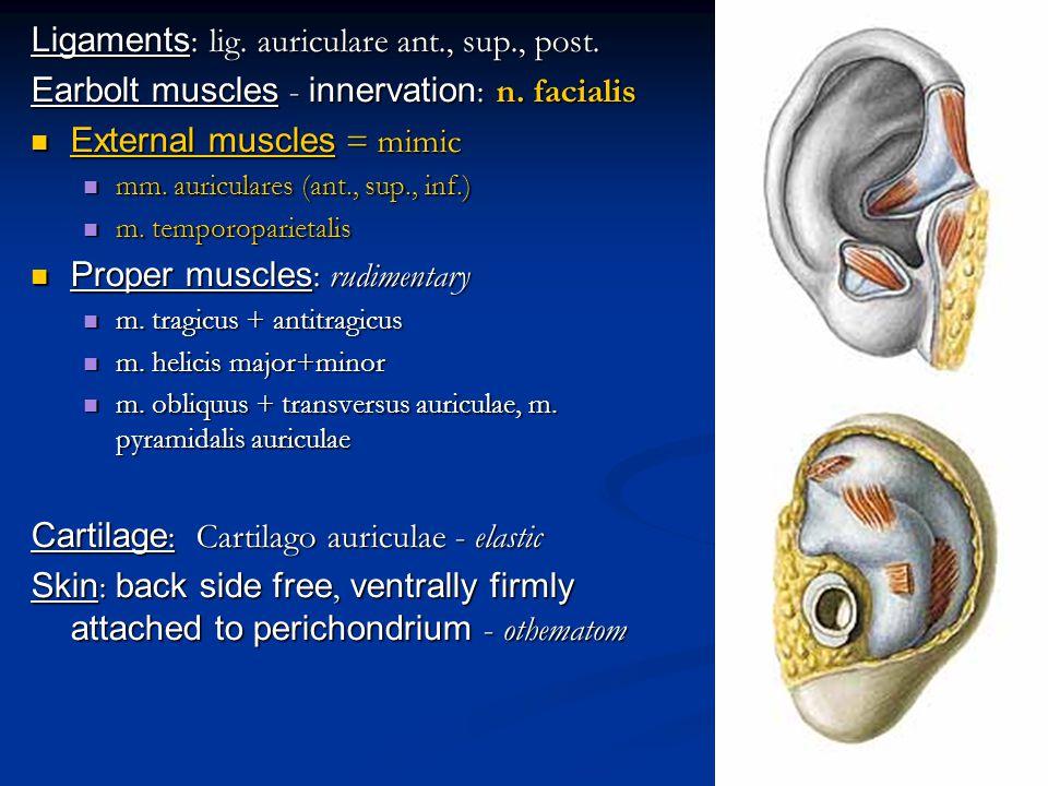 auditory and balance apparatus
