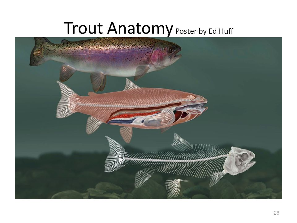 A You Will Need A Copy Of The Trout Book With Internal Organs