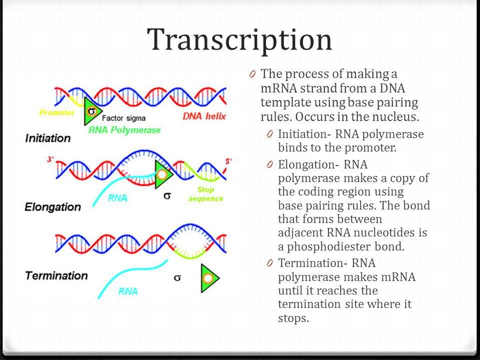 Transcription and Translation - ppt video online download
