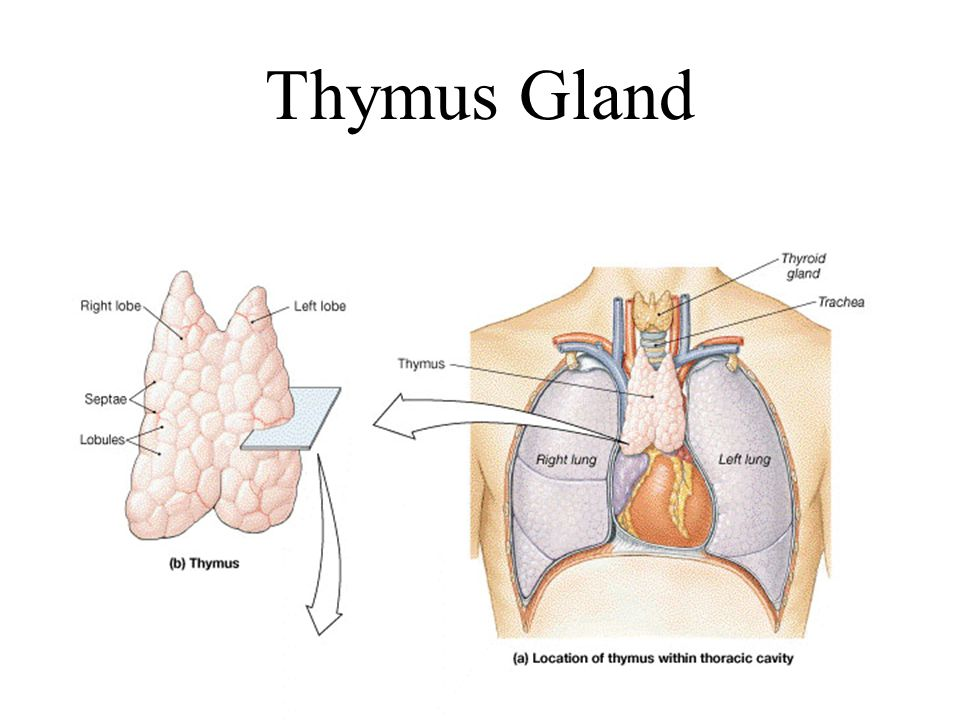 Nice Location Of Thymus Gland Collection - Anatomy And Physiology ...