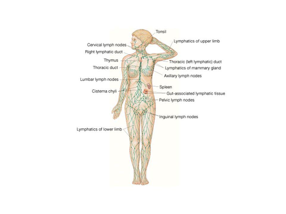 The Lymphatic System FG23_01.JPG Title: Lymphatic System