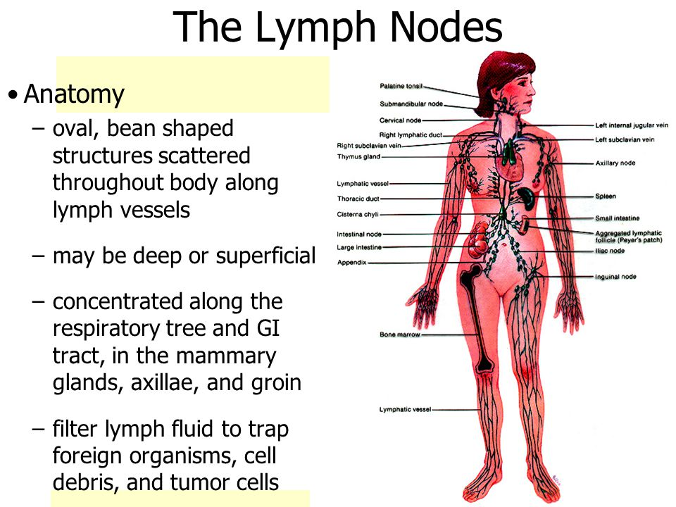 4/16/2017 CH 20 Lymph Node Anatomy James F. Thompson, Ph.D. - ppt ...