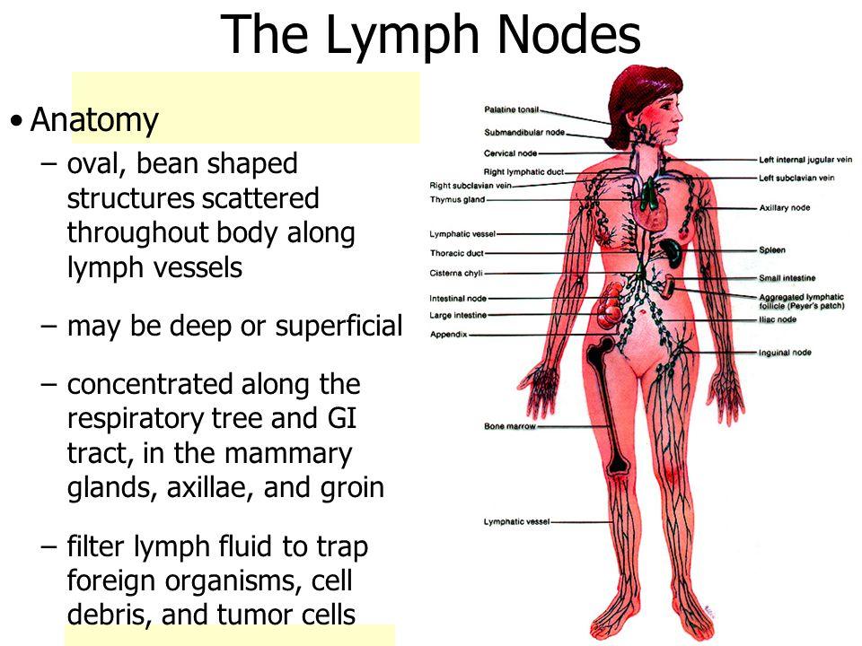 4162017 Ch 20 Lymph Node Anatomy James F Thompson Phd Ppt