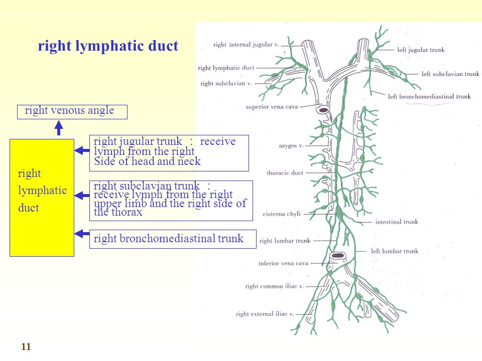 right lymphatic duct right venous angle