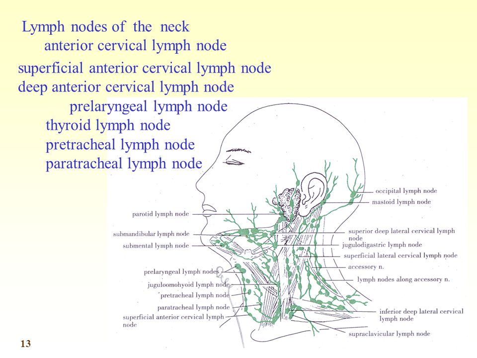 Lymph nodes of the neck anterior cervical lymph node. superficial anterior cervical lymph node. deep anterior cervical lymph node.
