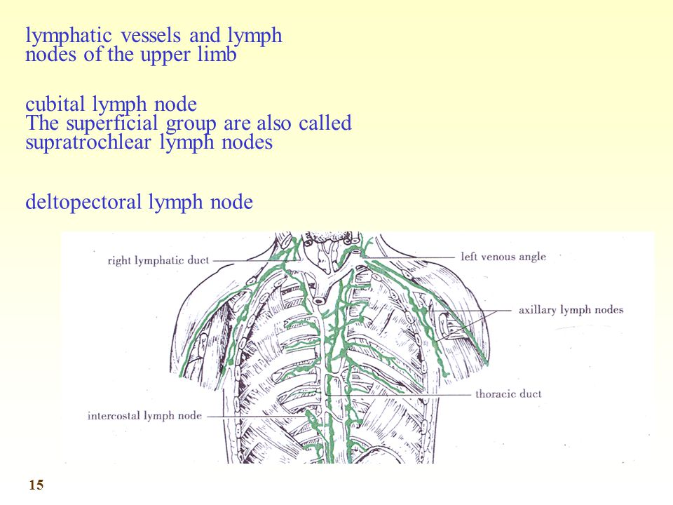 lymphatic vessels and lymph nodes of the upper limb