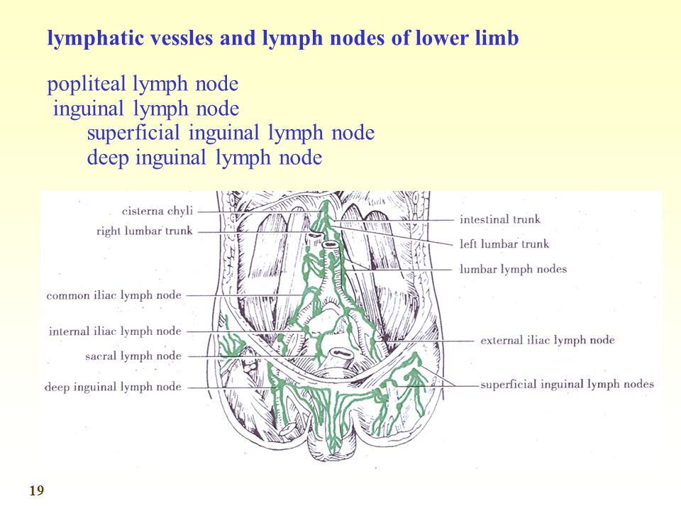 lymphatic vessles and lymph nodes of lower limb