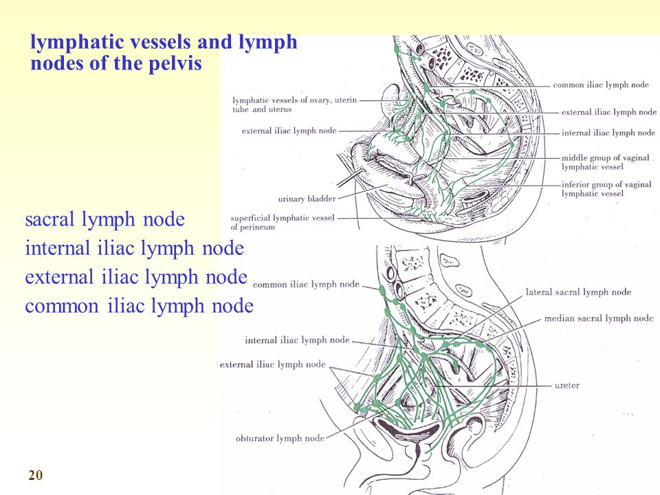 lymphatic vessels and lymph nodes of the pelvis